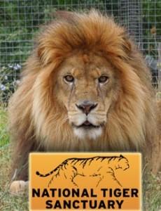 TigerSanctuaryLion